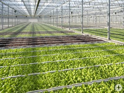 Ansicht Gewächshaus Peter Stader Jungpflanzen, Salatpflanzen